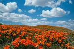 Poppy Field, Antelope Valley California