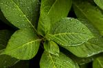 K9B9033-Green-Leaves-with-Rain-Drops