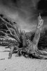 Dead Tree in Sand 17 Mile Drive Carmel CA