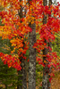 Trees-with-Red-and-Orange-Leaves_K9B9080