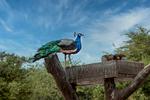 Peacock, Sir Bani Yas Island, UAE