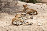 Cheetah, Sir Bani Yas Island, UAE