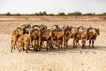 Rams, Sir Bani Yas Island, UAE