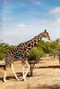 Giraffe, Sir Bani Yas Island, UAE