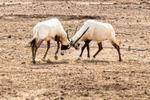 Oryx Fighting, Sir Bani Yas Island, UAE