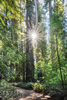 Jedidiah Redwood Forest