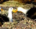 Albatross Mating Dance Galapagos