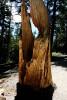 Burned Out Tree at Mammoth Lakes, California