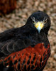 falconredbreastIMG_0806