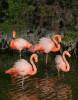 Flamingos, Galapagos