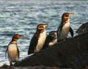 Four Pengins, Galapagos
