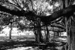 Banyon Tree Hawaii