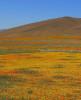 Poppy Field Antelope Valley California