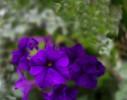 Vilolet Colored Flower