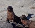 Sandy Seals, Galapagos