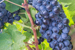 grapes-web-_1-of-1_