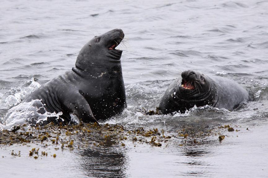 130828-Pix-004-PSedit-fighting-Grey-Seals-_JDunn_web