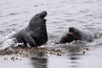 130828-Pix-004-PSedit-fighting-Grey-Seals-_JDunn_web