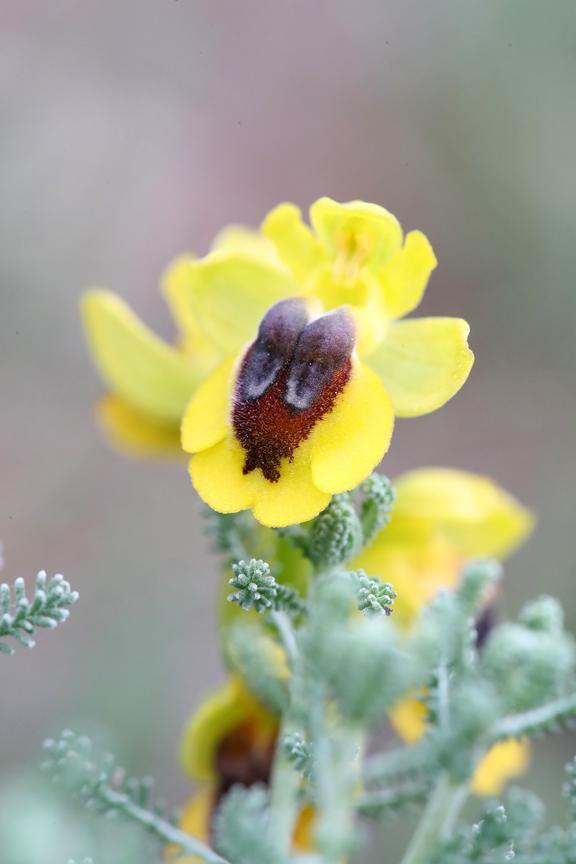 AP6I2656_1_-180508-Ophrys-lutea-