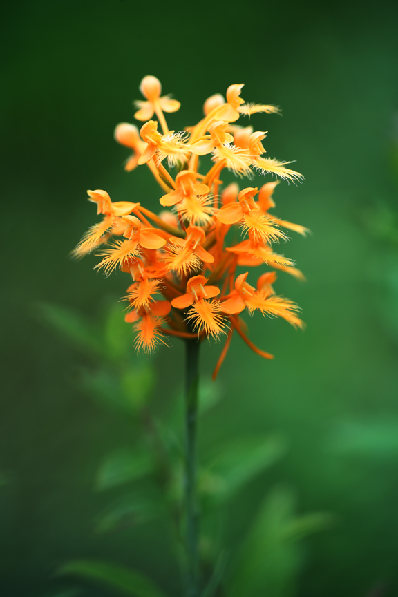 AP6I6889-edit2-Yellow-fringed-Orchid-Platanthera-ciliaris