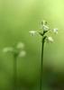 AP6I6966-edit-Small-Green-Wood-Orchid-Gymnadeniopsis-clavellata