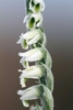 Autumn-Lady_s-tresses-detail