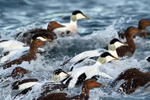IMG_0072-Whalsay-Eiders