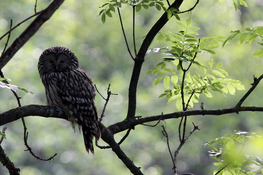 IMG_0074-Ural-Owl-Hungary