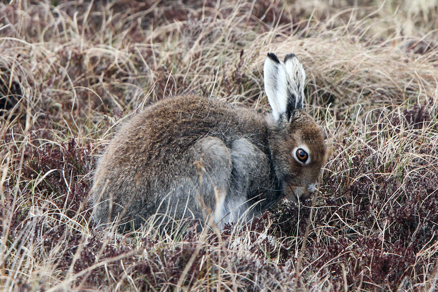 IMG_0451-Mountain-Hare