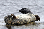 IMG_0667-Grey-Seals