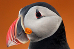 IMG_1147-sunset-Puffin-portrait