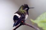 IMG_2349-Wire-crested-Thorntail
