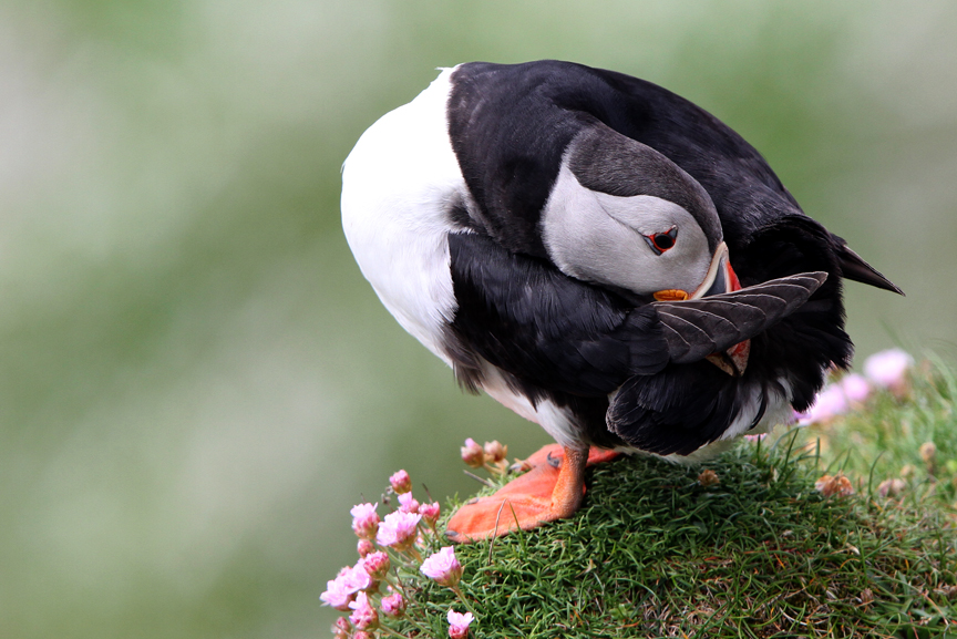 IMG_2366-Puffin-preening-ball2