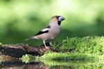 IMG_4574-Hawfinch