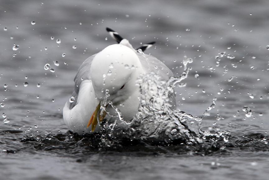 IMG_9670-Common-Gull-bathing