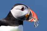 IMG_9726-Puffin-with-lichen