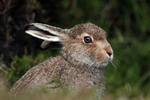 IMG_9826-Mountain-Hare