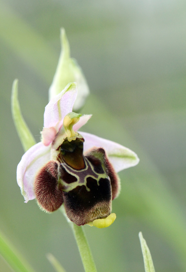 Late-Spider-Orchid2