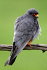 Red-footed-Falcon