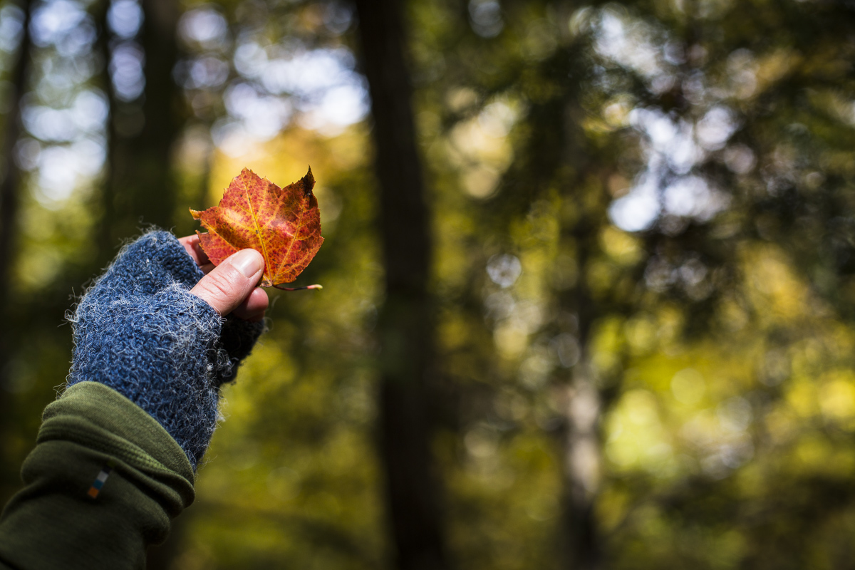 A patron on a Country Walkers guided tour examines a red fall leaf during their tour of Waterbury, Vermont. By JAM Creative.