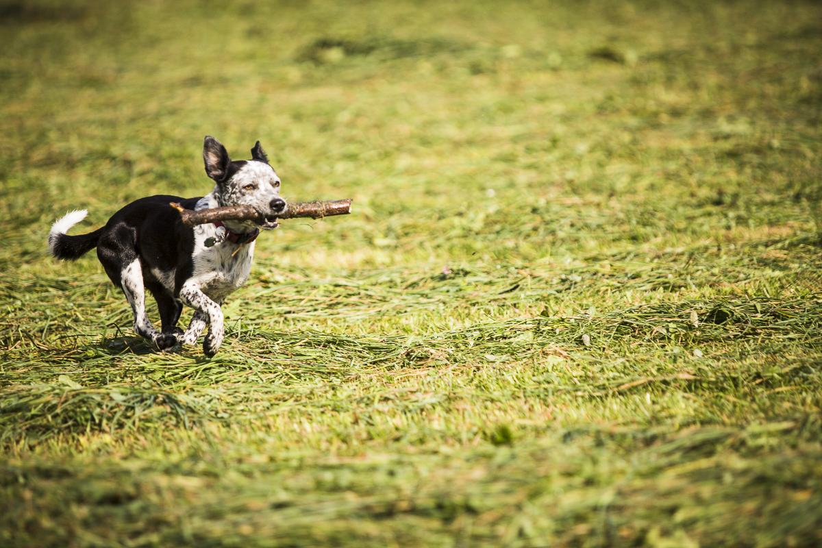 Luna the farm dog and her favorite stick. Until she finds an eve bigger stick. By Jam Creative.