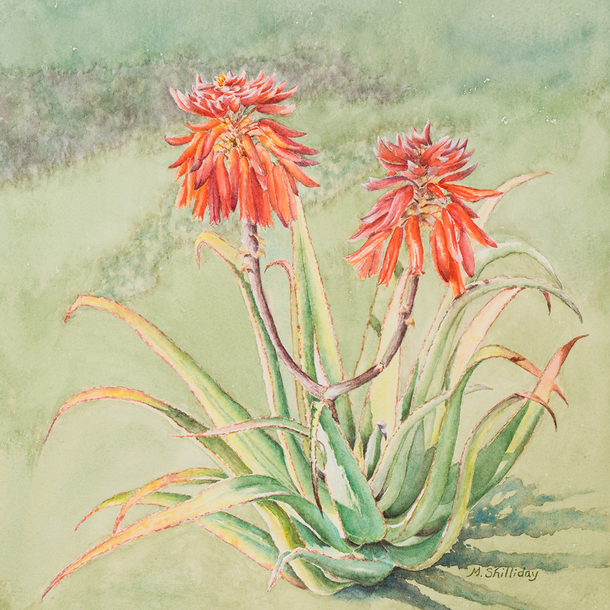 Aloe munchii from Tom Cole's Garden Santa Barbara, CA.