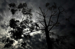 Asunsion Rosas of Sotero Fernandez Tree Care in Anahiem balances from his support rope as he trims a tree in Riverside, Calif. (The Press-Enterprise/ Mark Zaleski)