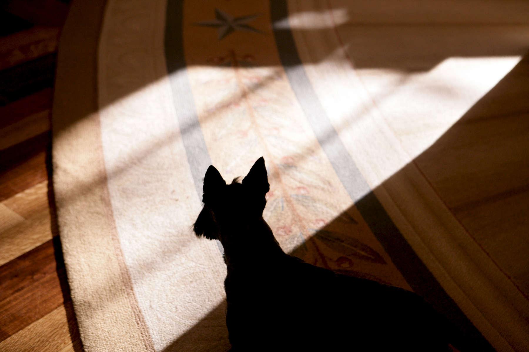 Miss Beazley, shadow on Oval Office rug.