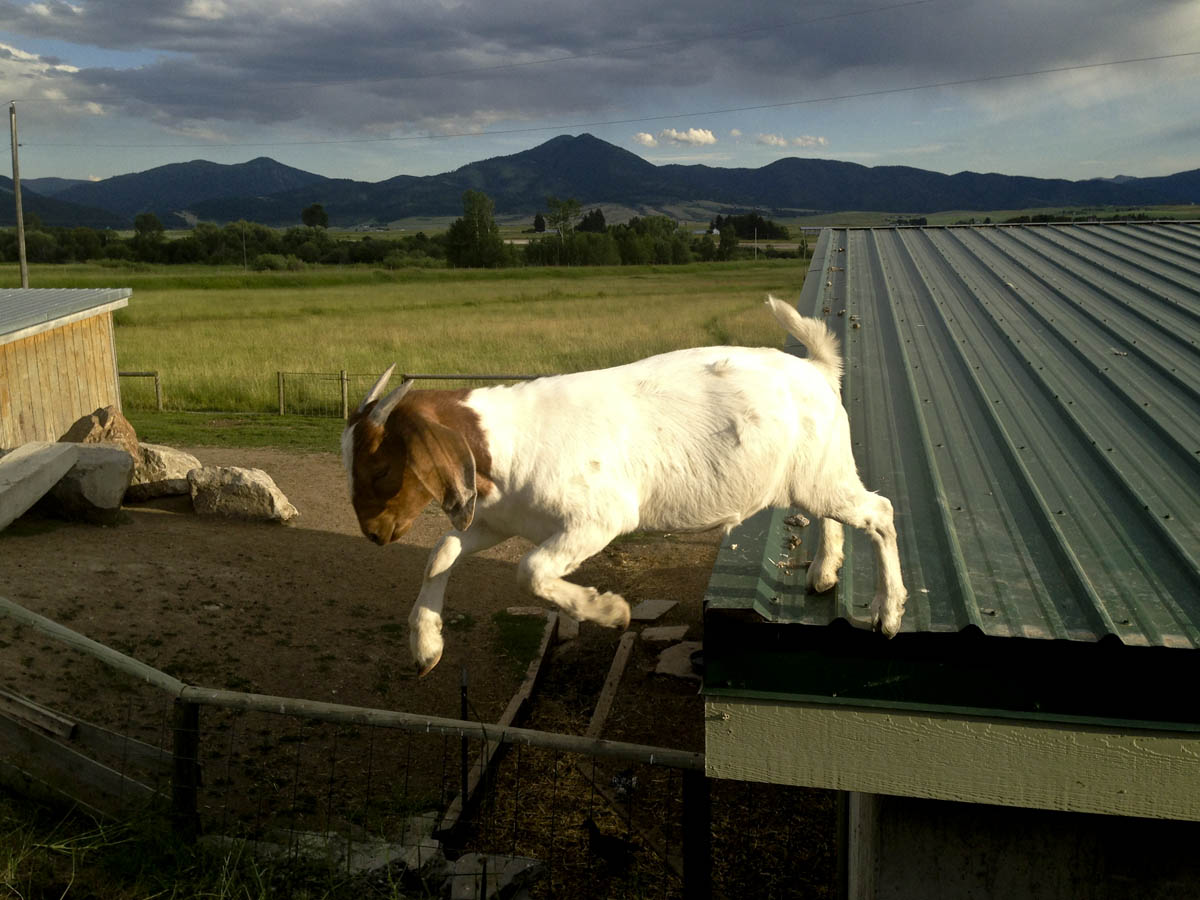 Boer Goat on a hot tin roof.