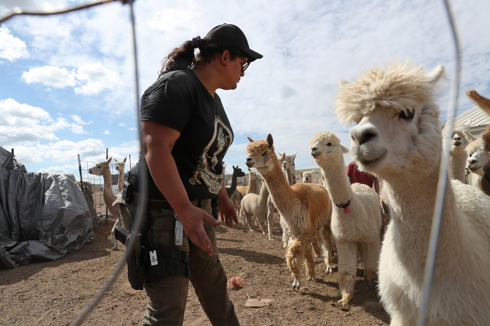 """Bonnie Nelson helps sort sheared and un-sheared alpaca before starting another day of """"Shear-a-Palooza"""" at the Tenacious Unicorn Ranch in Westcliffe, Colorado. The event was a multiple day party at the ranch held to attract volunteers and to encourage community members to come to the ranch to help shear the alpaca or to simply mingle."""