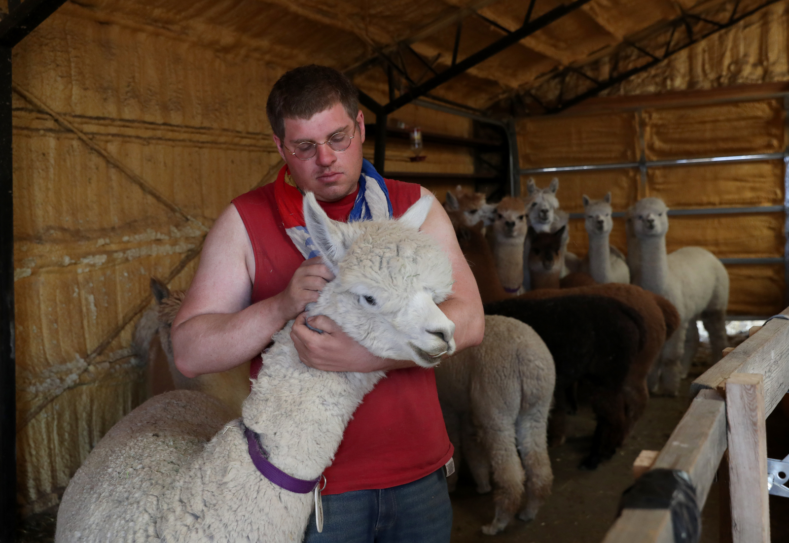 "Sky Nelson tries to calm an alpaca as it waits to have its hair cut during ""Shear-A-Palooza"" at the Tenacious Unicorn Ranch."