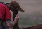 Penny Logue greets a freshly sheared alpaca nicknamed Mocha.