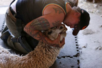 """Penny Logue inspects the teeth of an alpaca as it waits to have its hair cut during """"Shear-A-Palooza"""" at the Tenacious Unicorn Ranch."""