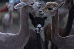 Newly shorn alpaca eat hay and socialize at the Tenacious Unicorn Ranch in Westcliffe, Colorado.